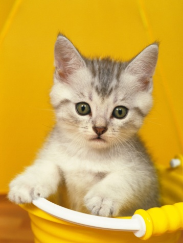 Kitten「Closed Up Image of Kitten, Sitting in a Yellow Plastic Bucket, Looking at Camera, Front View」:スマホ壁紙(17)