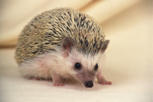 ハリネズミ「Closed Up Image of a Hedgehog, Looking at Camera, Side View, Differential Focus」:スマホ壁紙(14)