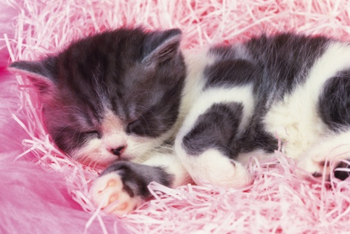 Kitten「Closed Up Image of an Exotic Shorthair Cat, Sleeping on a Pink-colored, Fluffy Fabrics, High Angle View」:スマホ壁紙(16)