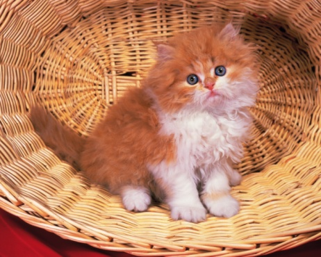 子猫「Closed Up Image of a Persian Cat Sitting in a Basket, Looking at Camera, Side View」:スマホ壁紙(12)