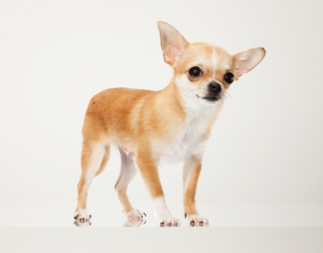 Chihuahua - Dog「Tan Chihuahua dog portrait」:スマホ壁紙(5)