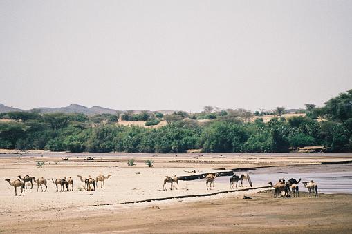 Palm tree「砂漠の川のデルタでラクダ」:スマホ壁紙(0)