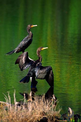Choosing「Double-Crested Cormorant」:スマホ壁紙(7)