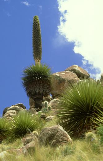 Bolivian Andes「puya sp, plant 10m tall  bolivian andes」:スマホ壁紙(15)
