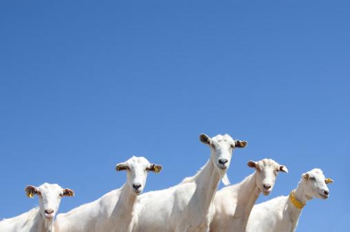 Goat「Goats staring.」:スマホ壁紙(7)