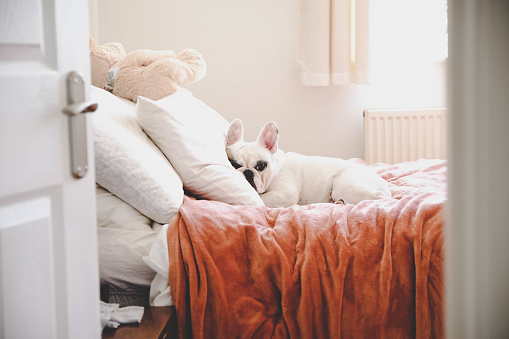 Bed - Furniture「Sleepy French Bulldog on a cozy bed in a bedroom, seeing through bedroom door」:スマホ壁紙(2)