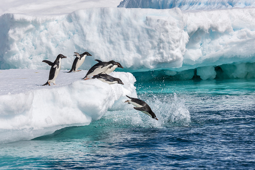 Sub-Antarctic Islands「Adelie penguins」:スマホ壁紙(17)