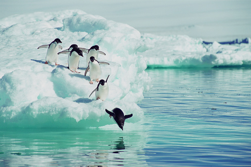 Diving Into Water「Adelie Penguins (Pygoscelis adeliae) jumping from iceberg」:スマホ壁紙(5)