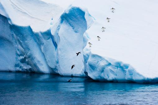 Diving Into Water「Adelie Penguins (Pygoscelis adeliae) diving off Iceberg, Antarctica」:スマホ壁紙(6)