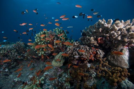 熱帯魚「Schooling anthias fish and healthy corals of Beqa Lagoon, Fiji.」:スマホ壁紙(3)