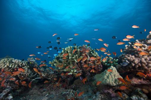 熱帯魚「Schooling anthias fish and healthy corals of Beqa Lagoon, Fiji.」:スマホ壁紙(2)