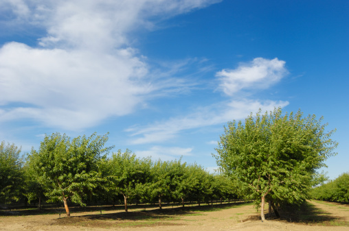 Grove「Orchard View of Ripening Almond Nuts」:スマホ壁紙(8)