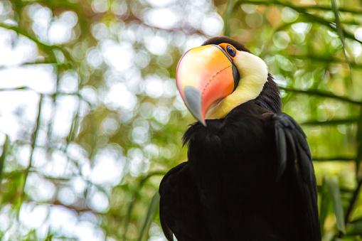 Amazon Rainforest「Tucano Toco in the nature」:スマホ壁紙(17)