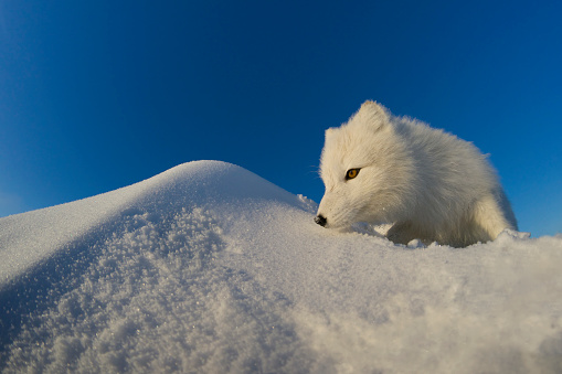 Arctic Fox「Polar fox observes tundra.」:スマホ壁紙(11)