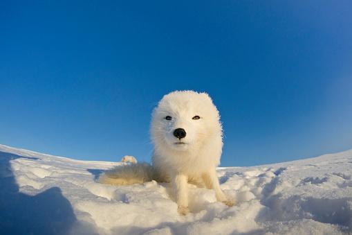 Snowdrift「Polar fox observes tundra.」:スマホ壁紙(4)