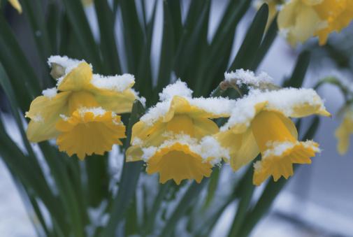水仙「Japan, Honshu, Saitama Prefecture, Kawaguchi, Snow on Daffodil flowers, close-up」:スマホ壁紙(9)