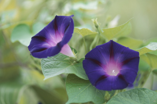 朝顔「Japan, Honshu, Saitama Prefecture, Urawa, Morning Glory flowers (Ipomoea purpurea), close-up」:スマホ壁紙(7)