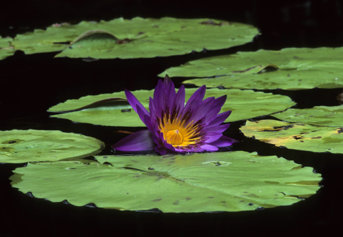 Water Lily「WATER LILY, Nymphaea sp.  Worldwide distribution, genus of 50 species, perennial aquatic plants.  Chicago Botanical Gardens.」:スマホ壁紙(14)