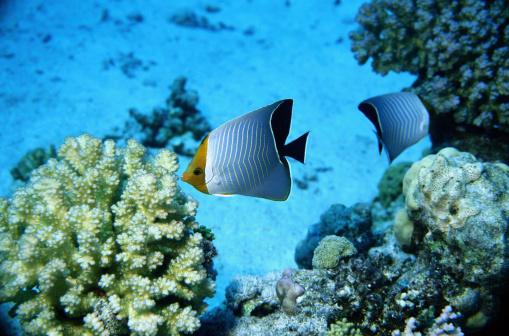 Butterflyfish「Triangulum Butterfly Fish」:スマホ壁紙(18)