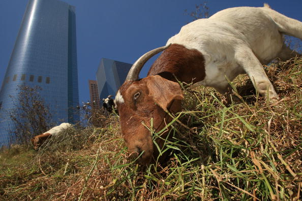 Grass「Downtown Los Angeles Lot Gets Groomed By Goats」:写真・画像(9)[壁紙.com]