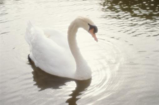 野生動物「Mute swan (Cygnus olor) cob (male) floating in lagoon」:スマホ壁紙(0)