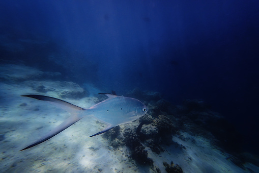 インド洋「Fish swimming underwater, Fihalhohi, Kaafu, Maldives」:スマホ壁紙(18)
