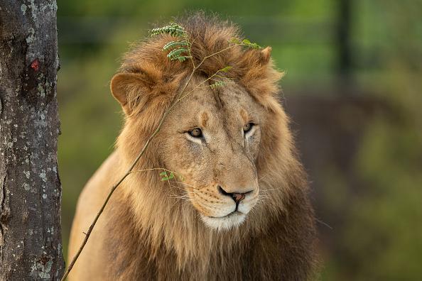 Lion - Feline「Behind The Scenes At Sydney Zoo」:写真・画像(17)[壁紙.com]