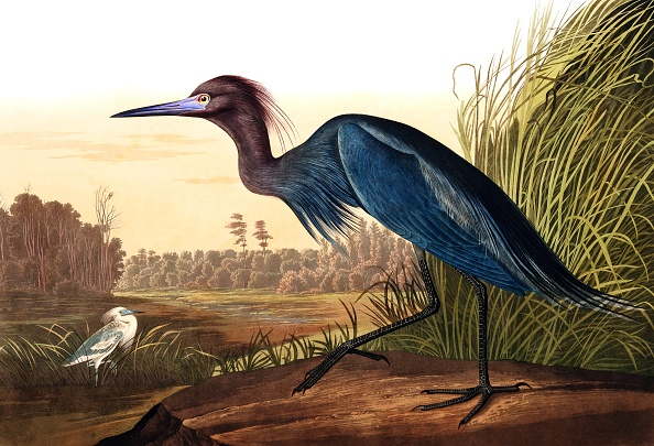 Engraving「Blue Crane Or Heron」:写真・画像(8)[壁紙.com]