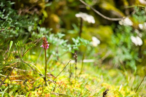 花「Orchid, Disa, Satyrium Robusta growing on Kilembe Route, Rwenzori National Park, Kasese District, Uganda」:スマホ壁紙(8)