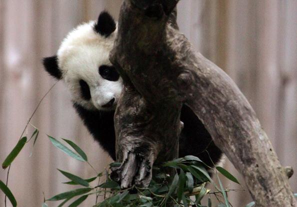 Bear Cub「Baby Panda Tai Shan Charms Visitors At National Zoo」:写真・画像(16)[壁紙.com]