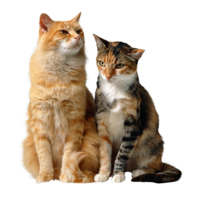 Mixed-Breed Cat「Two Cats」:スマホ壁紙(16)