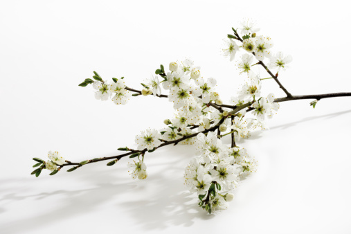 Hawthorn「Whitethorn twig (Crataegus), close-up」:スマホ壁紙(8)