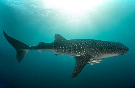 Whale shark「Whale shark with cleaner fish」:スマホ壁紙(11)