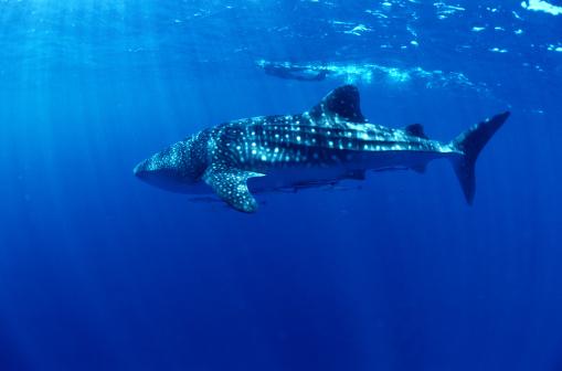 ジンベイザメ「Whale Shark」:スマホ壁紙(15)