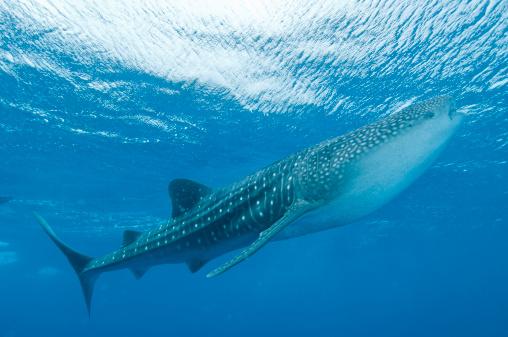 ジンベイザメ「Whale shark, Ari and Male Atoll, Maldives.」:スマホ壁紙(19)