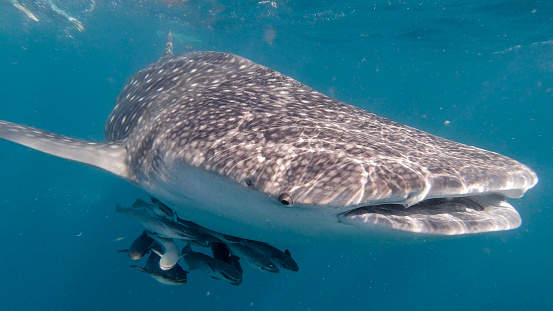 Whale shark「Whale Shark (Rhincodon typus) Endangered Species swimming in the sea approaching photographer」:スマホ壁紙(15)