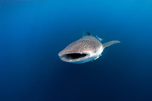 Whale shark「whale shark, Cenderawasih Bay, Papua, Indonesia」:スマホ壁紙(1)