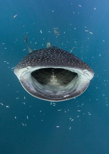Whale shark「Whale shark hunting fish, Cenderawasih Bay, Papua, Indonesia」:スマホ壁紙(10)