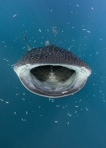 ジンベイザメ「Whale shark hunting fish, Cenderawasih Bay, Papua, Indonesia」:スマホ壁紙(15)