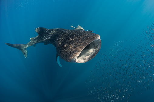 ジンベイザメ「Whale shark hunting fish, Cenderawasih Bay, Papua, Indonesia」:スマホ壁紙(19)