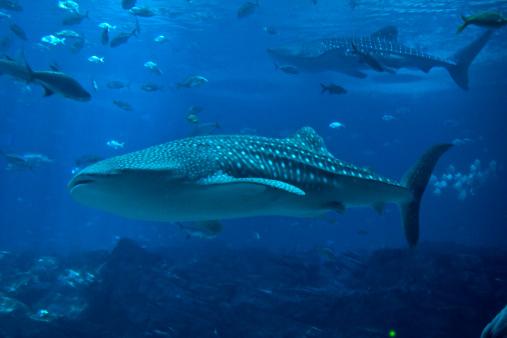 ジンベイザメ「ジンベイザメとたくさんの魚」:スマホ壁紙(4)
