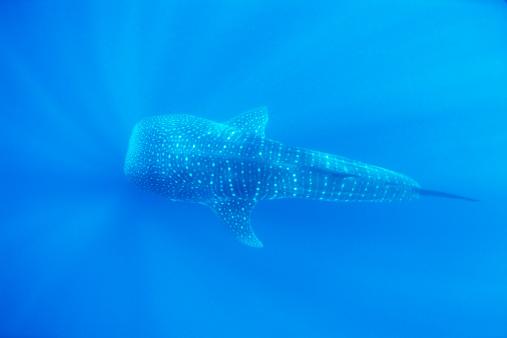 ジンベイザメ「Whale shark」:スマホ壁紙(10)