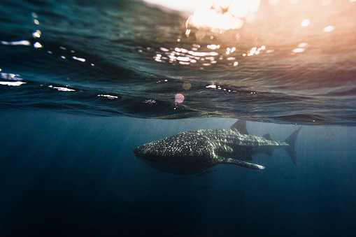 Whale shark「Whale Shark swimming in clear blue ocean with bokeh and surface activity」:スマホ壁紙(9)