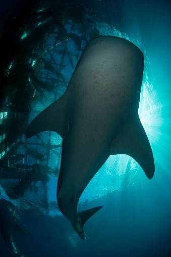 ジンベイザメ「Whale shark swimming up to the surface, silhouetted against sunrays.」:スマホ壁紙(9)