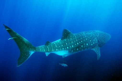 Whale shark「Whale Shark With Fluorescent Spots」:スマホ壁紙(16)