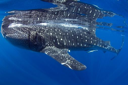 ジンベイザメ「Whale Shark, Isla Mujeres, Caribbean」:スマホ壁紙(16)