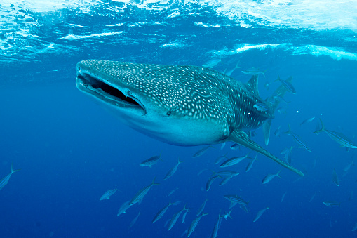 ジンベイザメ「Whale shark swimming with mouth open, Maldives.」:スマホ壁紙(2)