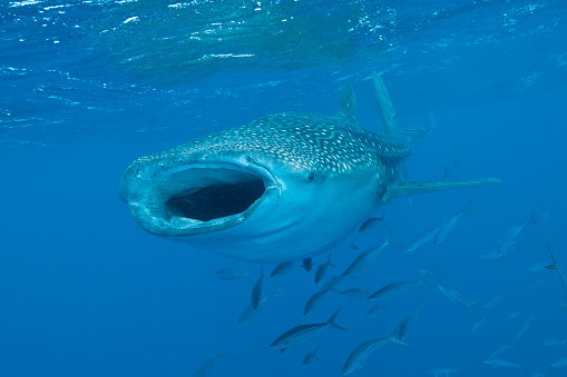 ジンベイザメ「Whale shark swimming with mouth open, Maldives.」:スマホ壁紙(0)