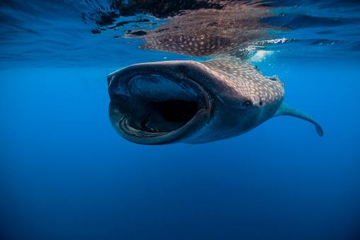 Whale shark「Whale shark in Isla Mujeres, Mexico.」:スマホ壁紙(14)