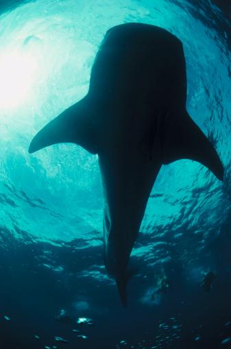 ジンベイザメ「Whale Shark」:スマホ壁紙(13)
